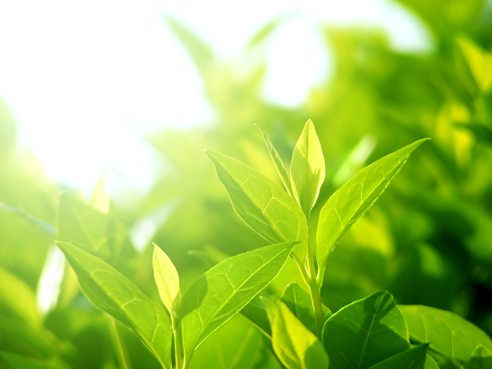 Why Green Tea Extract Is One Of The Best Ingredients For Skin Care